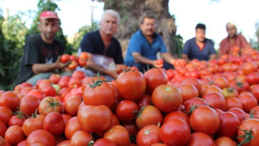 Rusya Türkiye'den domates ithalatını 2 kat artırıyor