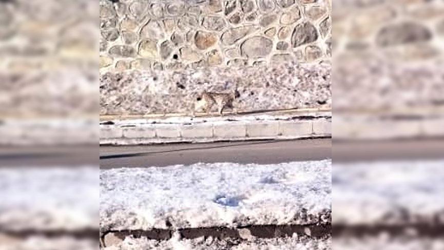 Nesli tükenmek üzere olan vaşak Ardahan'da görüntülendi
