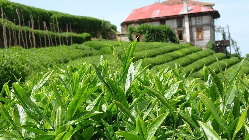 Yaş çay için fark ödemesi 13 kuruş olarak belirlendi