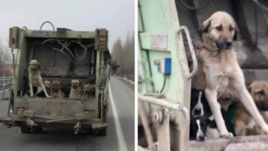 Iğdır'da köpeklerin çöp kamyonuyla taşınmasına inceleme