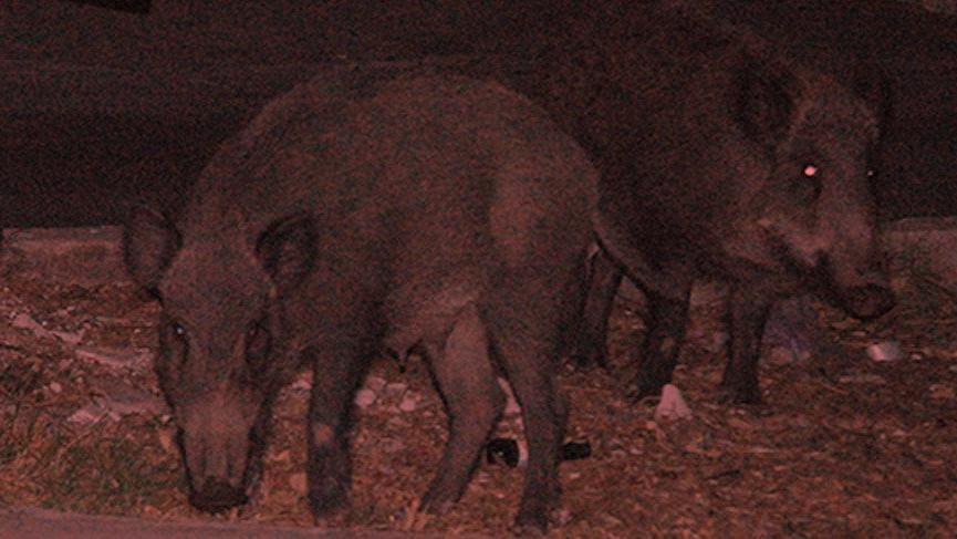 Odun toplayan gence domuz saldırdı