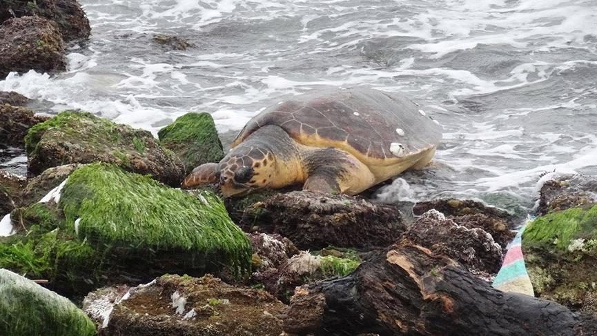 Çanakkale'de sahilde bulunan caretta caretta koruma altına alındı
