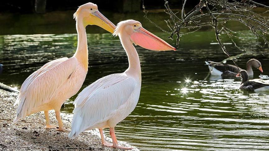 Bu park 355 yıldır pelikanlara ev sahipliği yapıyor