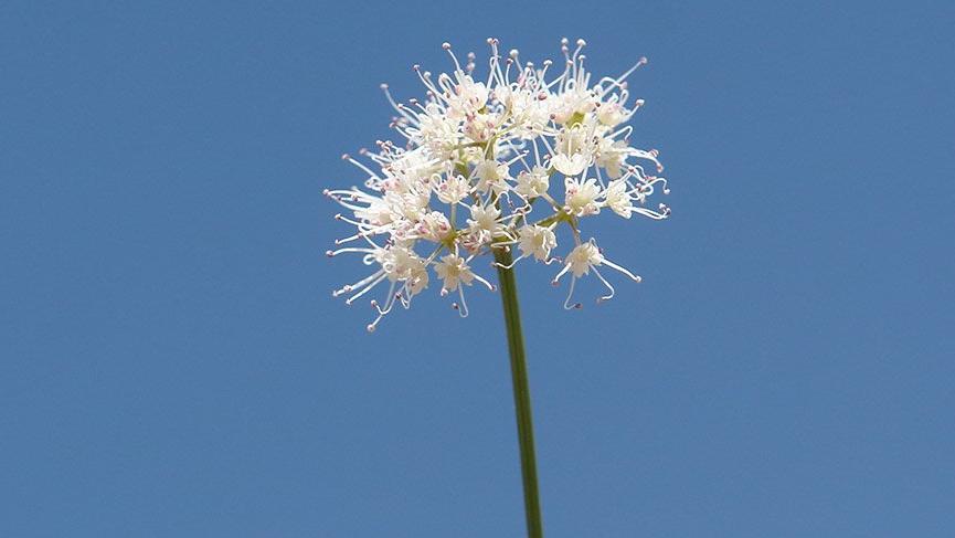 Hizan'da yeni bir bitki türü keşfedildi