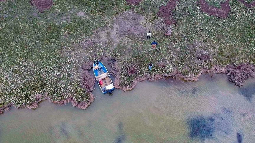 Kuş cennetinde keşfedilen saklı nergis adası