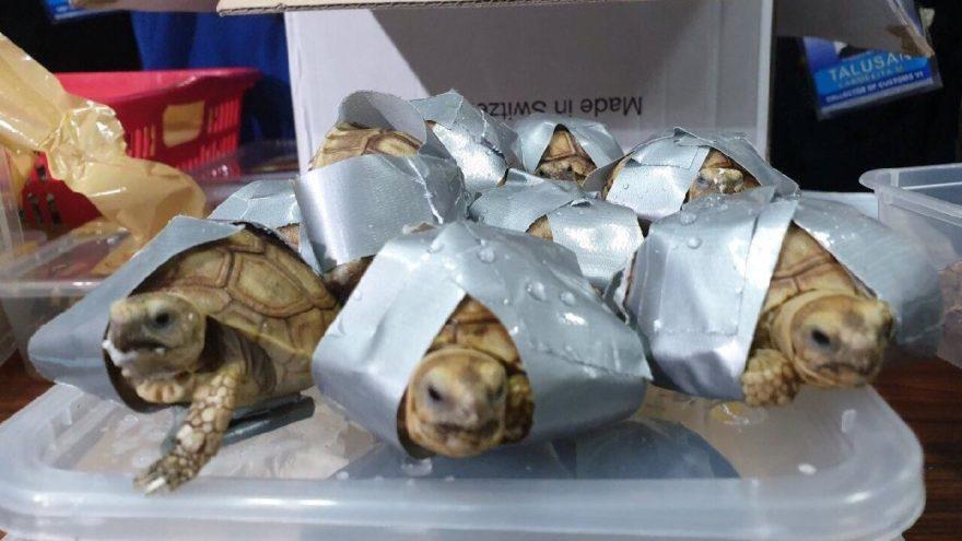 Valizden 1500 kaplumbağa çıktı