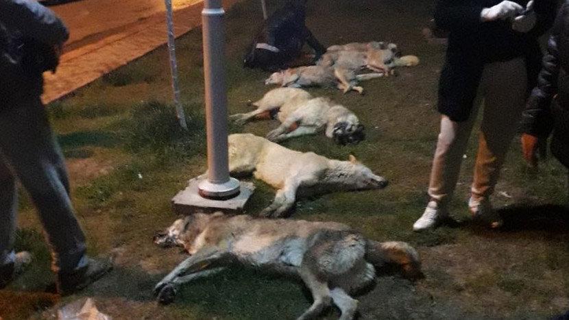 Ankara'da sokak köpeklerine katliam yapıldı!
