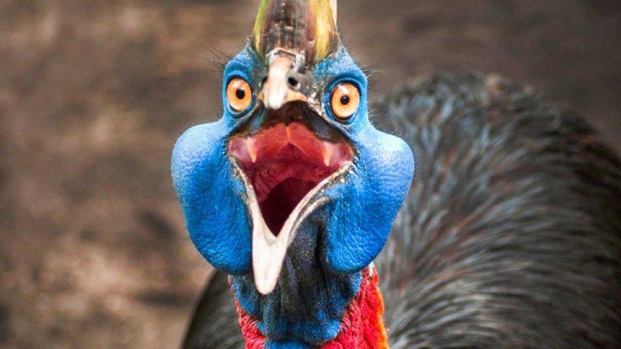 Cassowary kuşu gagasıyla şah damarını parçalıyor! İşte Cassowary kuşu hakkında bilinmeyenler