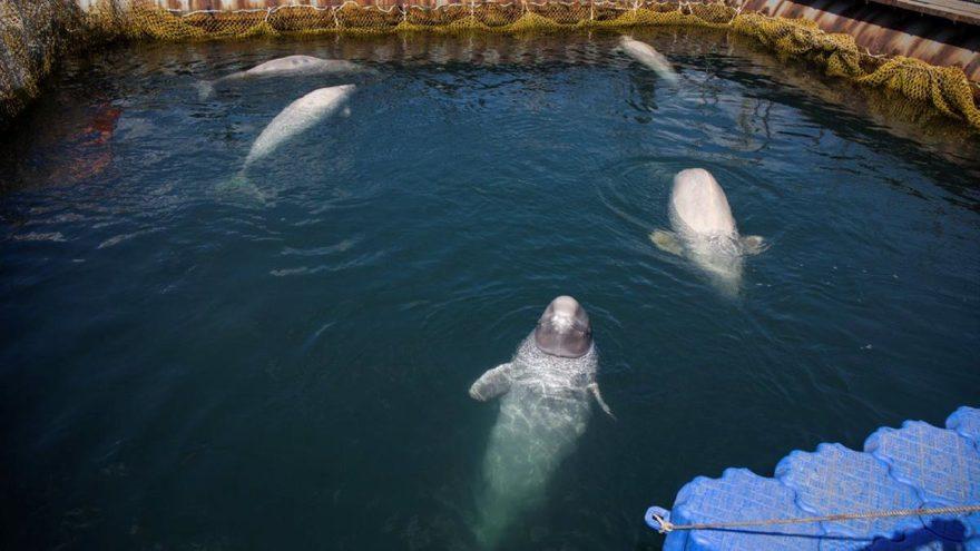 Norveç: Ruslar casus balina kullanıyor