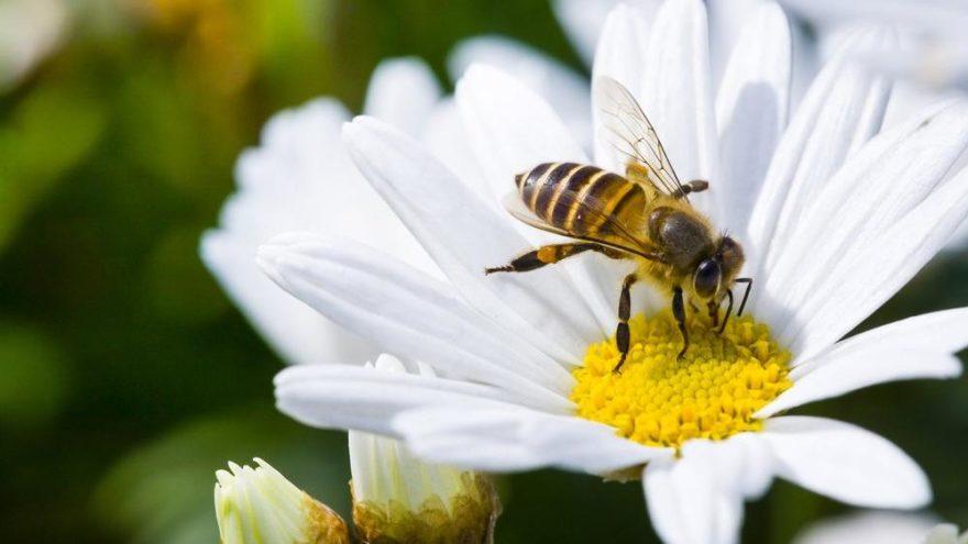 'Balkonunuza arıların sevdiği çiçekleri ekin'