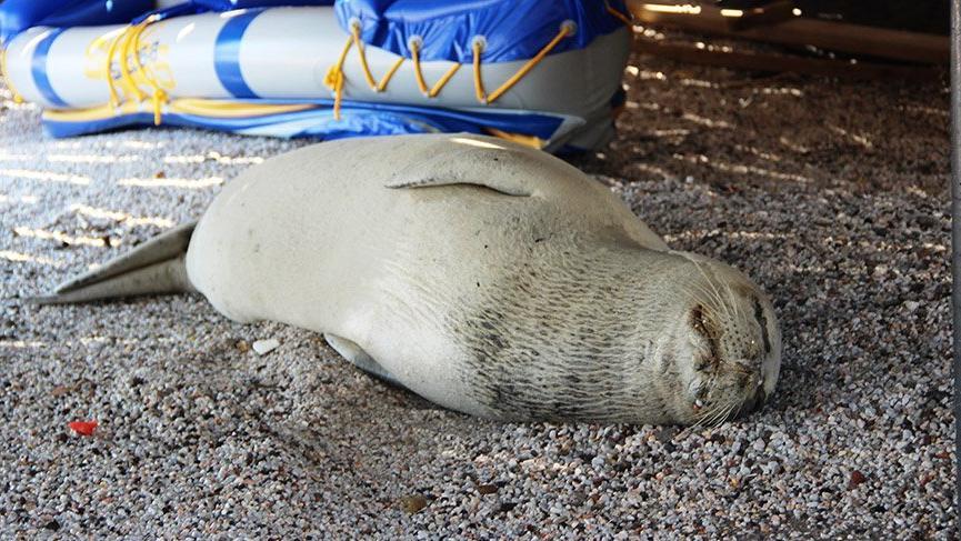 Fok balığını şikayet ettiler: Denize giremiyoruz