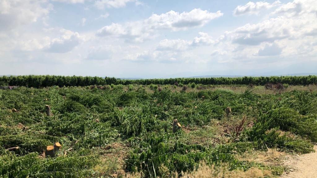 Türk tarımı iflas noktasına geldi! Bursalı çiftçi 3 bin 800 meyve ağacını kökünden kesti