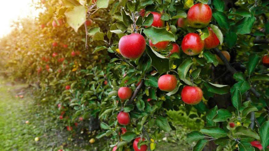 Elmanın faydaları nelerdir? Elmanın besin değerleri ve vücuda yararları…