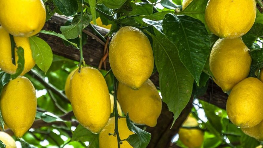 Limonun faydaları nelerdir? Limonun besin değerleri ve limonun vücuda yararları…