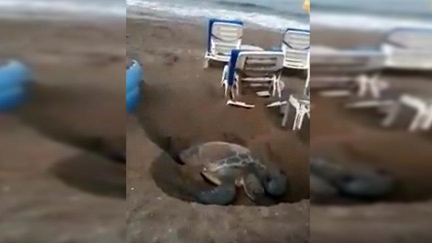 Deniz kaplumbağalarının yumurtlama alanına şezlong koydular