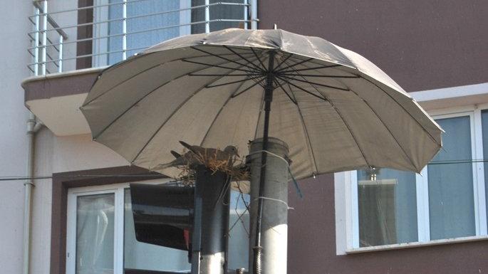 Kumru için şemsiye açtı