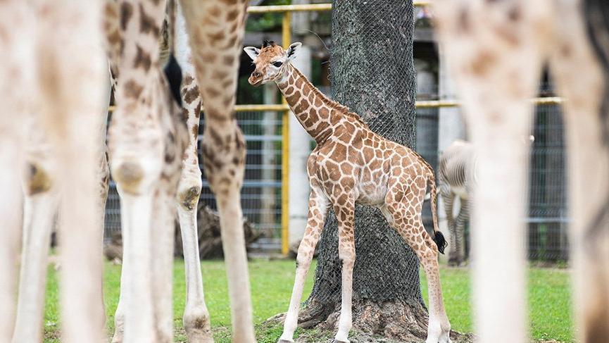 Hayvanat bahçesindeki yavru zürafa ilgi odağı oldu