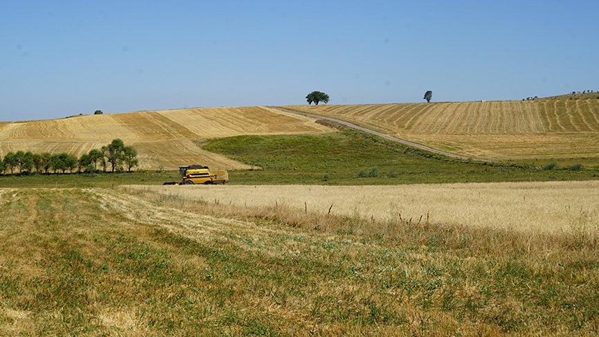 Herkes siyez ekince buğdaylar tarlada kaldı
