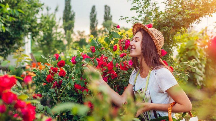 Gülün faydaları nelerdir? Gül neye iyi gelir?