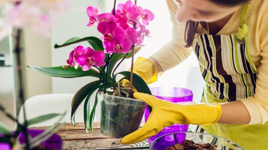 Orkide bakımı nasıl yapılır? Sulama, saksı değişimi…