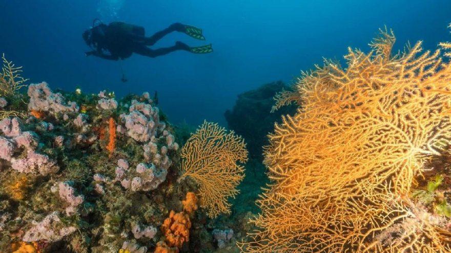 Kızıl mercanlardan sonra sarı mercanlar da büyük ilgi çekiyor