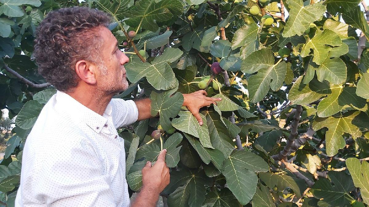 Sarıbal: Siyah incir dalında kaldı, üretici mağdur