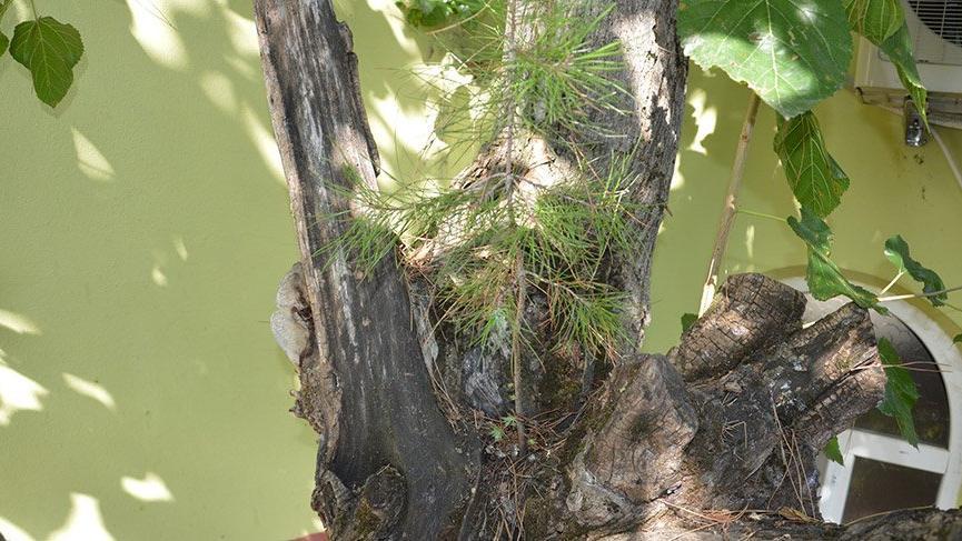 Görenleri hayrete düşürdü: Dut ağacının içinden çam fidanı çıktı