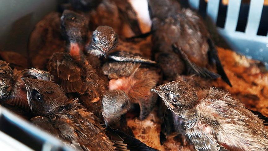 112 ebabil yavrusunu besleyecek gönüllü aranıyor
