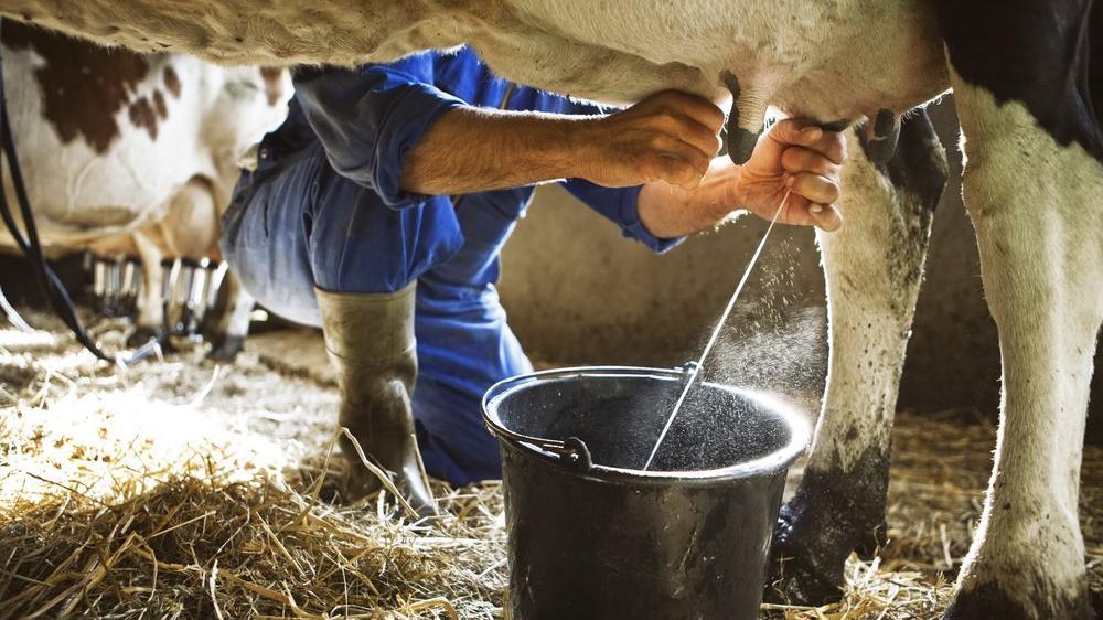 İnek sütü miktarı azaldı!