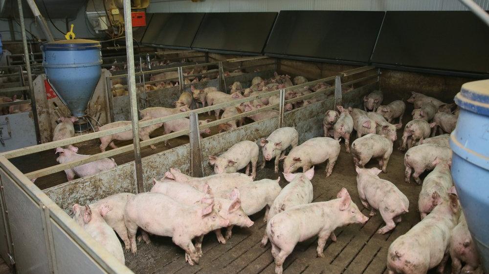 Güney Kore'de Afrika domuz vebası salgını