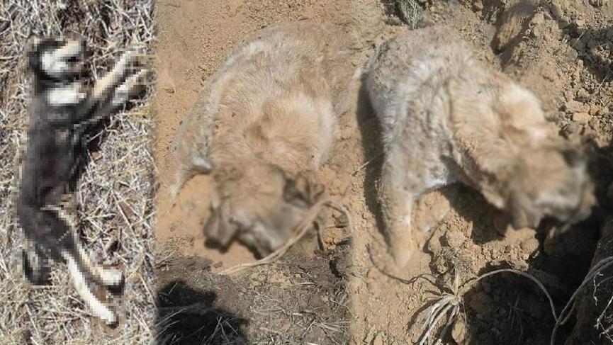 3 köpek vurularak öldürüldü
