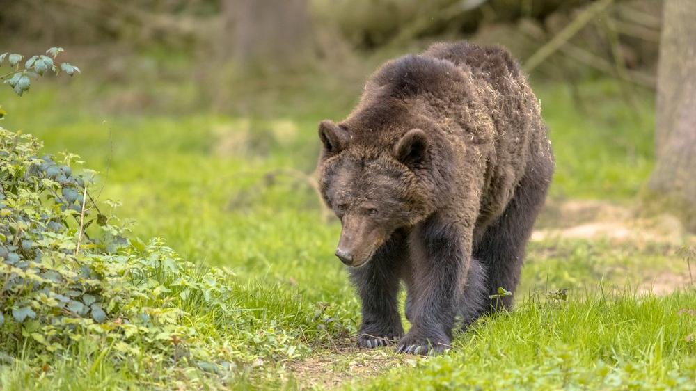 Penislerini yemek için ayıları öldüren adam yakayı ele verdi