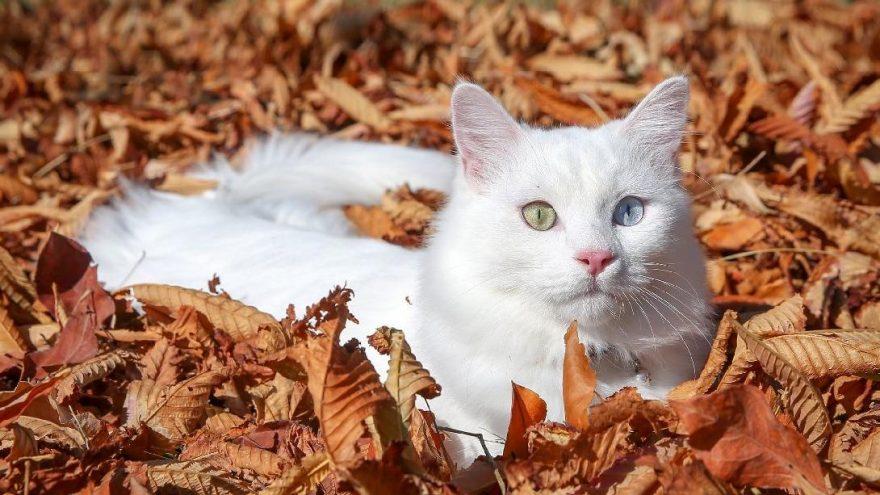 """Van kedisi """"Su"""" en güzel kedi seçildi"""