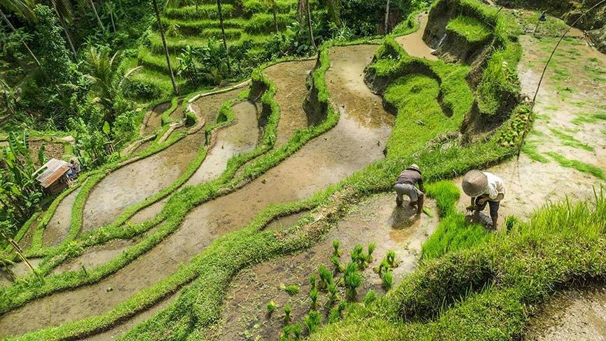 Bali'nin teraslı pirinç tarlaları
