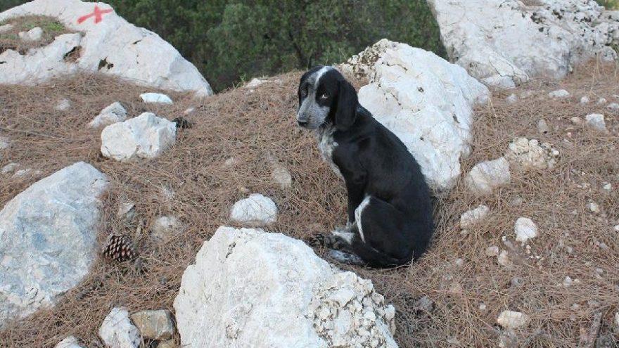 Kemer yaylalarına bırakılan köpekler ölüm kalım mücadelesi veriyor