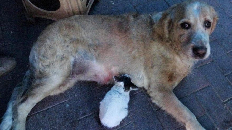 Annesinin dışladığı yavru kediyi, 'Tarçın' köpek sahiplendi