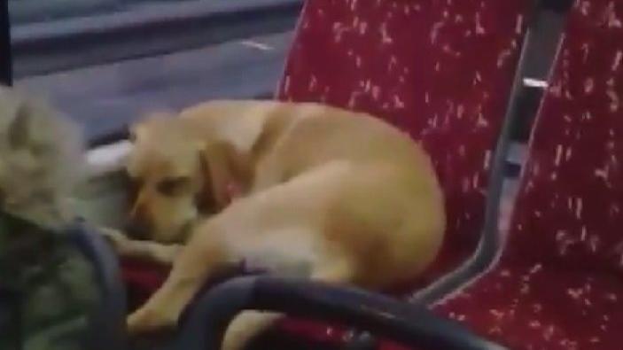 Beşiktaş'ta şoförün otobüse aldığı üşüyen köpek koltukta uyuyakaldı