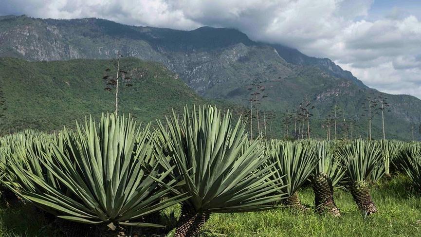 Dünyada en çok Yukatan'da üretilen 'Agave Sisalina' bitkisi