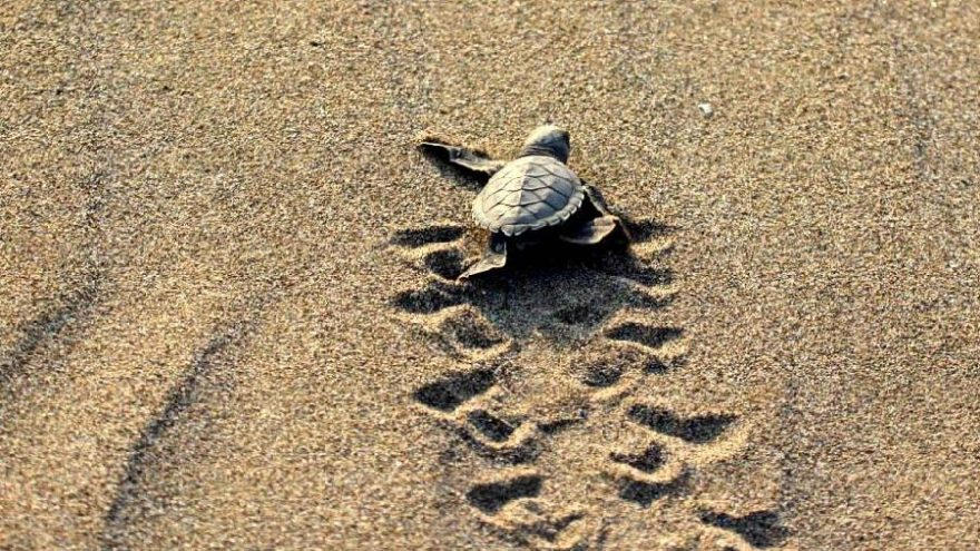 537 bin 424 yavru deniz kaplumbağası denizle buluştu