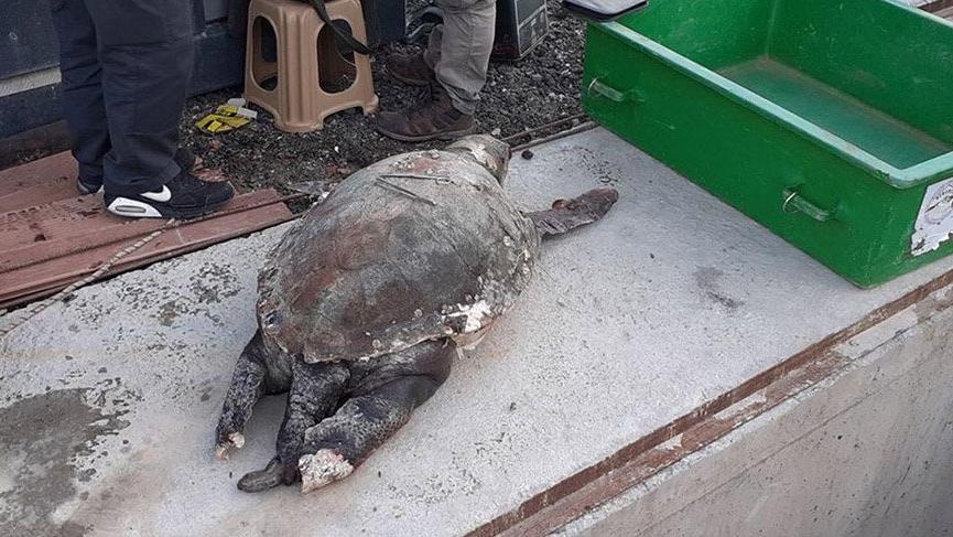 9 yıl önce kurtarılan deniz kaplumbağası ölü bulundu