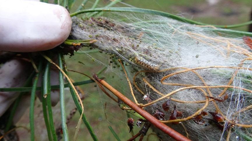İstanbul ormanlarında çam kese böceği alarmı