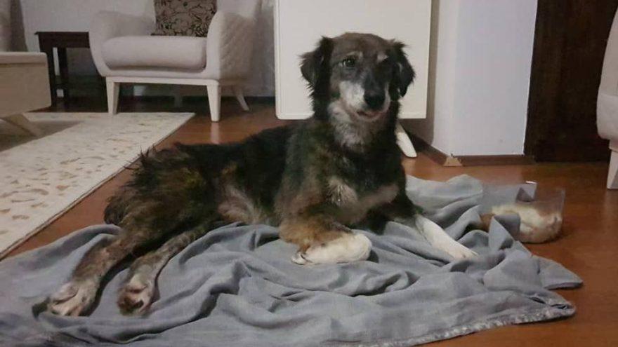 Silivri'de kurşunlanarak felç kalan köpek tedavi için Ankara'ya gönderildi