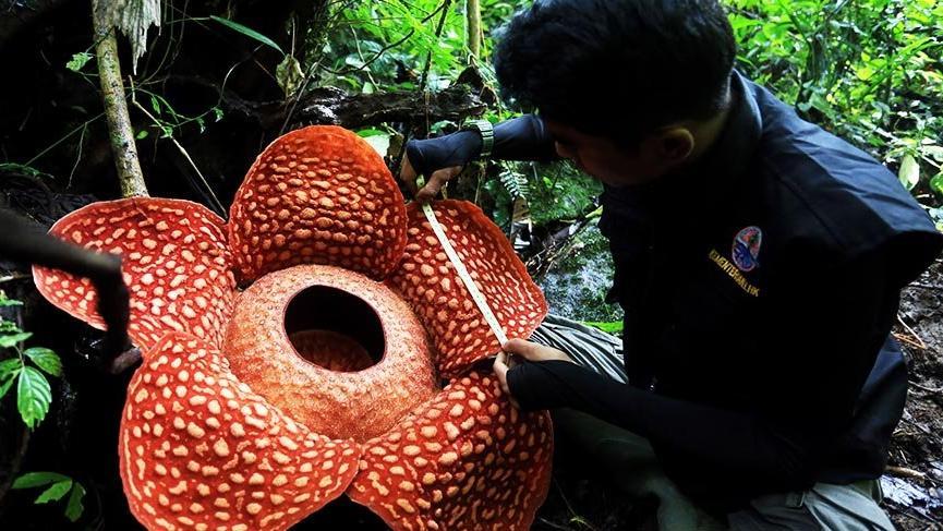 Dünyanın en büyük çiçeği Raflesya