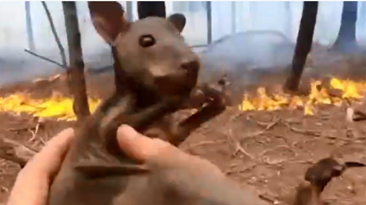 Avustralya aylardır yanıyor! Sosyal medya bu kurtuluşu konuşuyor