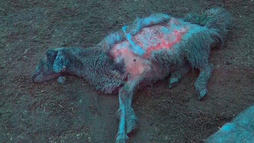Elazığ'da 600'den fazla koyunu telef köy karantinaya alındı