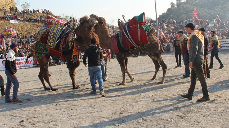 Geleneksel festivalde develer kıran kırana güreşti