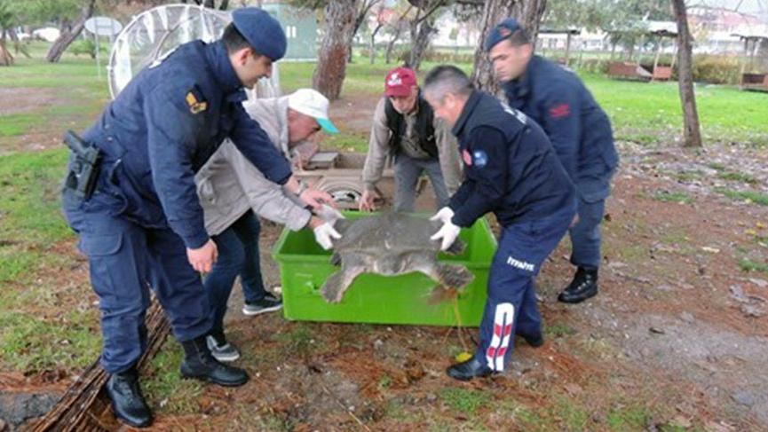 Sahilde bulunan yaralı Nil kaplumbağası tedavi altına alındı