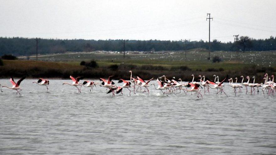 Edirne'de renkli flamingo karesi