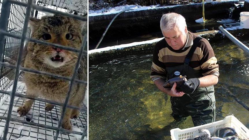 Havuzdan balıkları çalan yaban kedisini yakaladı
