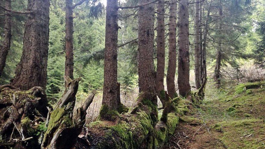 Gövdesinden 17 ağaç yetişen 300 yıllık ladin, şaşırtıyor